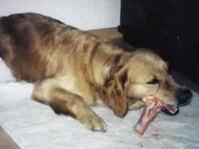 Hund frisst Knochen